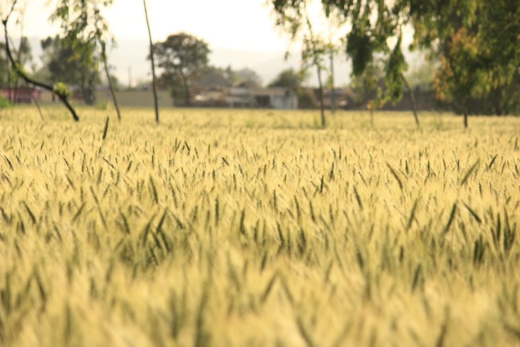 agricultural-agriculture-blur-539855